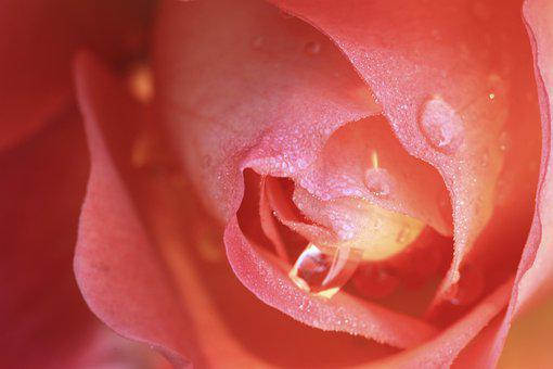 Flowers, Flower, Rose, Floral, Plants, Nature, Tabitha