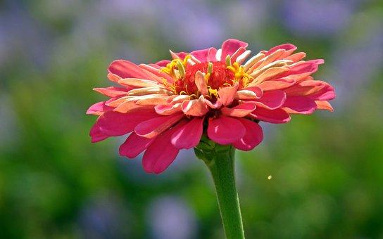 Zinnia, Flower, Garden, Nature, Summer, Closeup