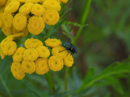 Tansy, Common Tansy, Yellow, Plant, Meadow, Flower