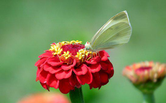Butterfly, Insect, Zinnia, Flower, Red, Nature, Macro