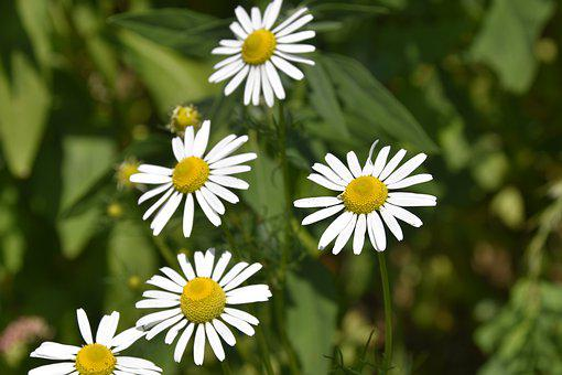 Flower, Flowers Of The Meadows, Daisies, Petals, Plants