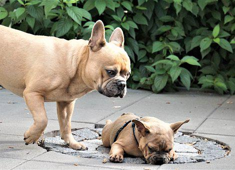 French Bulldog, Dog, Puppy, Male, Small, Sweet, Cute