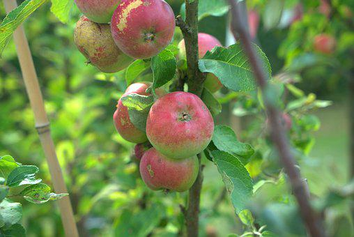 Apple, Tree, Fruit, Apple Tree, Healthy, Fresh, Harvest
