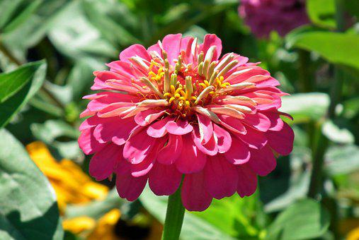 Zinnia, Flower, Colored, Garden, Nature, Summer