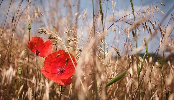 Poppy, Cornfield, Summer, Cereals, Field, Grain