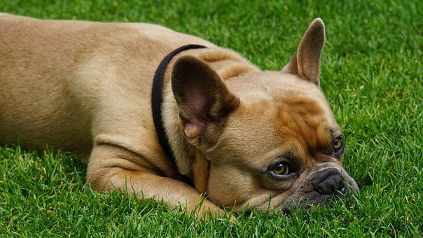 French Bulldog, Dog, Animal, Grass, Green, Fur, Beige