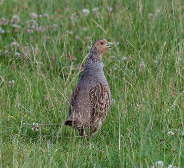 Grey Partridge, Grey, Partridge, Game Bird, Endangered