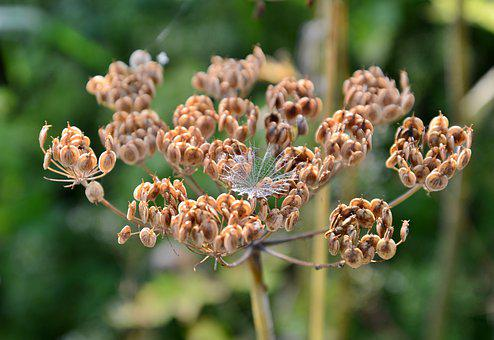 Screen Flower, Hogweed, Overblown, Plant, Nature, Dry