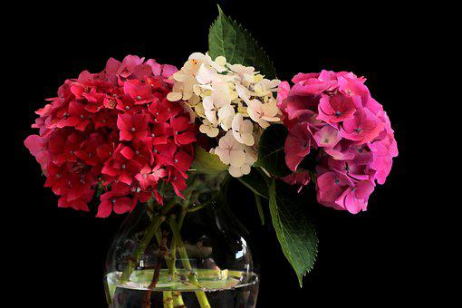 Hydrangea, Flower, Flowers, Nature, Flora, Garden