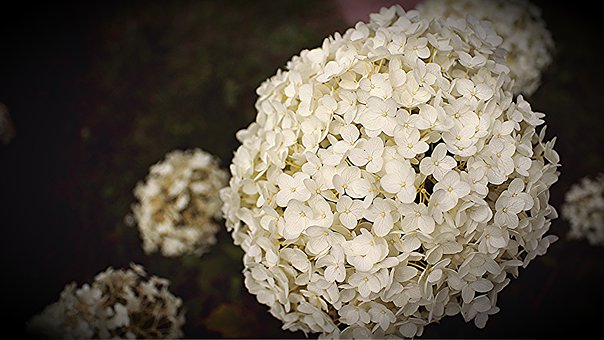 Hydrangea, Blossom, Bloom, Large Blooms