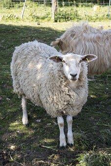 Sheep, Lamb, Farm, Field, Livestock, Animal, Wool