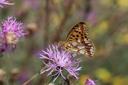 Butterfly, Insect, Meadow, Flower, Nature, Macro