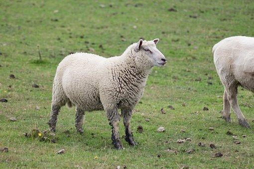 Meadow, Animals, Sheep, Pasture, Wool, Nature, Lamb
