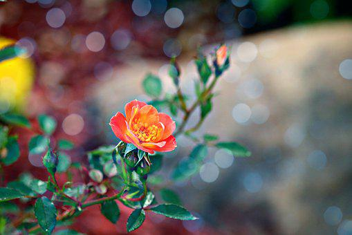 Paprika, Flower, Orange, Rose, Bloom, Nature, Blossom
