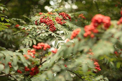 Bunches Of Rowan, Rowan, Autumn, Green Tree, Nature