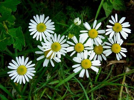 Flowers, Daisy, Pharmacy, Drug, Summer, Bloom, Nature