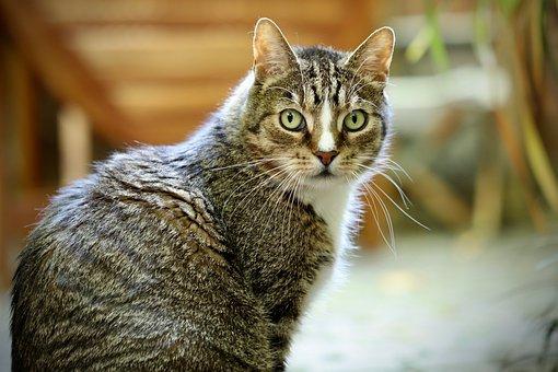 Cat, Pet, Domestic Cat, Mackerel