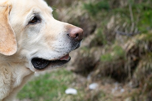 Dog, Labrador, Large, Beige, Out, Animal, Pet, Dog Head