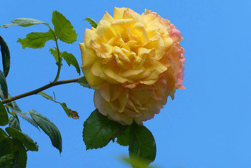 Rose, Bloom, Flower, Romantic, Romance, Nature, Petals