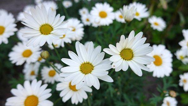 Daisies, White, Flowers, Bloom, Flower Garden, Petals