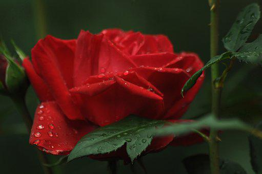 Rose, Drops, Water, Red, Green, Flower, Bloom, Petals
