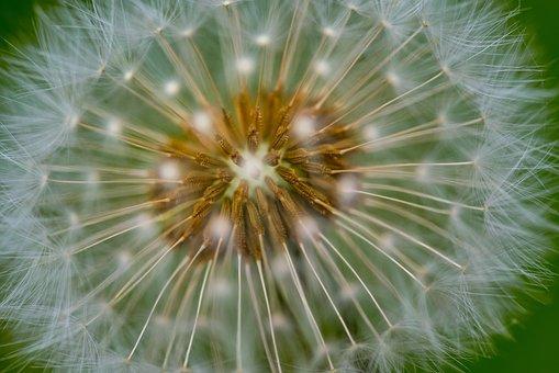 Macro, Dandelion, Nature, Blossom, Plant, Seeds, Summer