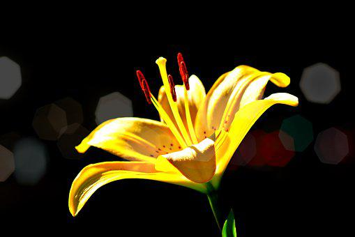 Lights, Flower, Yellow, Lilly, Bloom, Nature, Plant