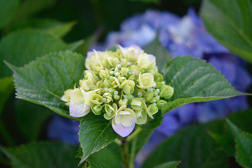 Flower Hydrangea, Flowering, Plant, Nature, Botany