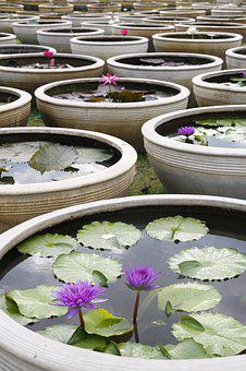 Water Lily, Blooming, Pond, Thailand, Ceramic