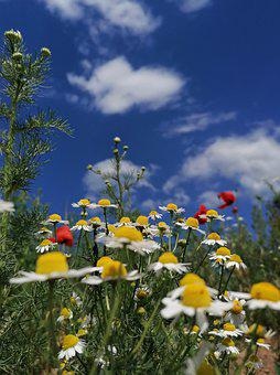 Summer, Summer Meadow, Chamomile, Poppy, Poppies