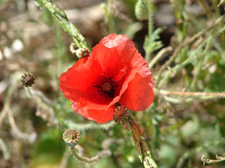 Poppy, Flower, Plant, Natural Flora, Flora, Red Flower