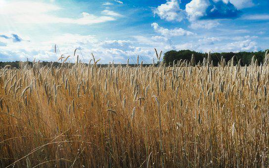 Wheat Field, Wheat, Harvest, Cereals, Straw, Landscape