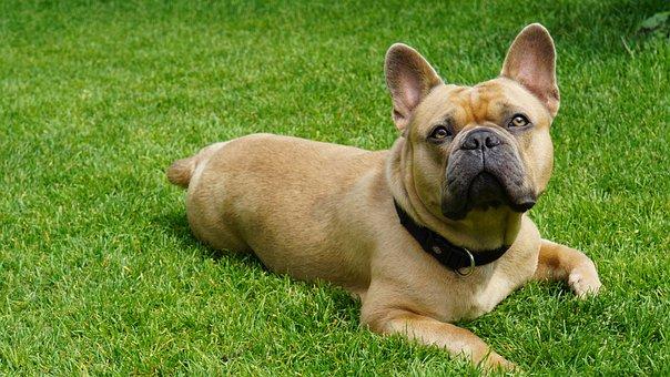 French Bulldog, Dog, Bulldog, Cute, Sweet, In The Grass