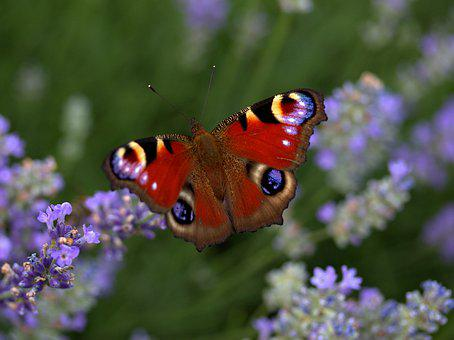 Butterfly, Lavender, Coloring, The Eye Of The Peacock