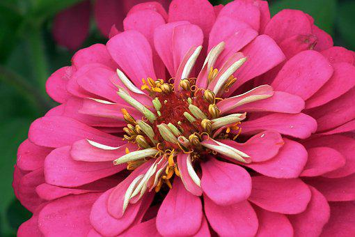 Zinnia, Flower, The Interior Of The, Garden, Nature