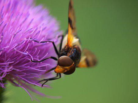 Hoverfly, Insect, Nature, Thistle Flower, Thistle