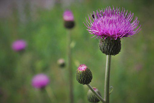 Violet, Acker Thistle, Creeping Thistle, Composites, To