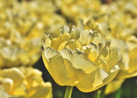 Tulip, Tulip Field, Blossom, Bloom, Bloom