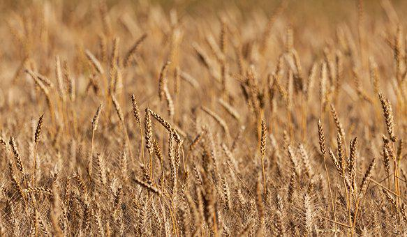 Wheat, Spikes, Cereal, Wheat Field, Field, Agriculture