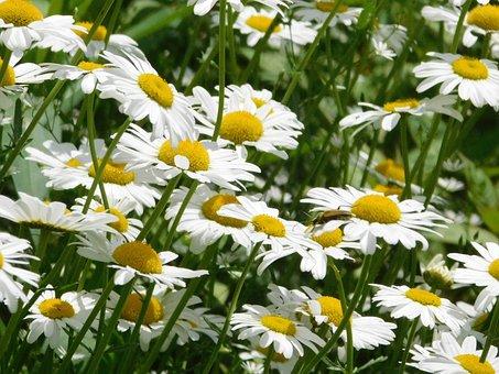 Daisy, Flower, White, Bloom, Petals, Plant, Wildflowers