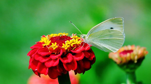 Butterfly, Insect, Flowers, Nature, Macro, Wings