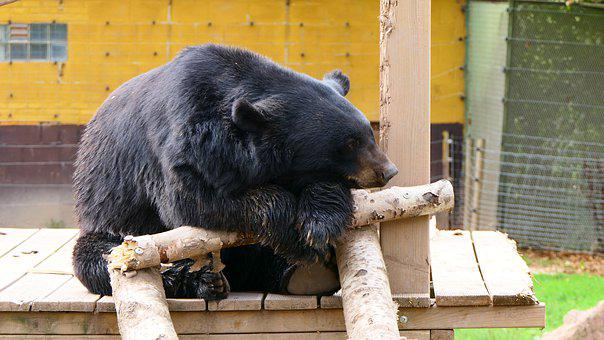 Bear, Animal, Mammals, Animal Park, Tired