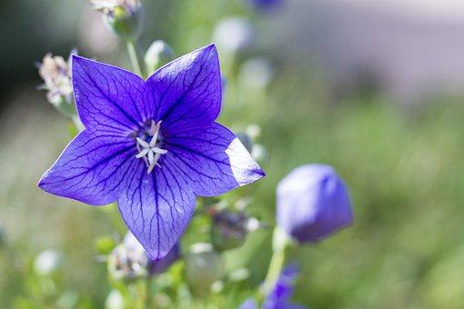 Flower, Bell, Bloom, Blue, Purple