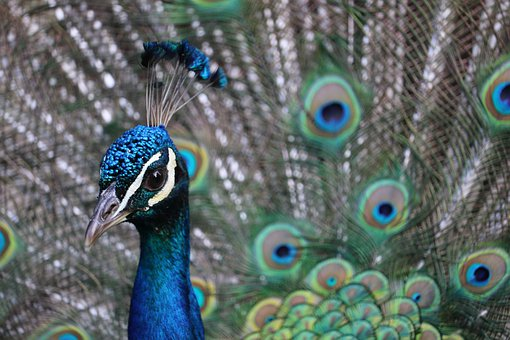 Peacock, Bird, Feather, Colorful, Plumage, Tail