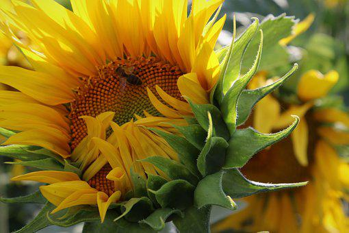 Petals, Yellow, Sunflower, Sunflowers, Blooms, Insect