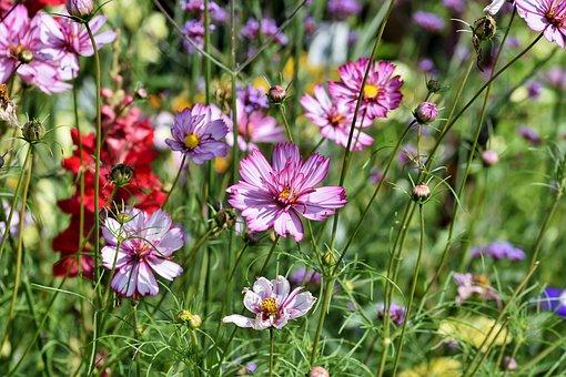 Cosmea, Flower Meadow, Flower, Blossom, Bloom, Petals