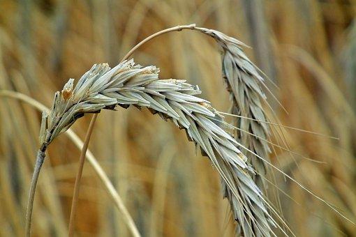 Corn, Ears, Harvest, Agriculture, Village, Summer