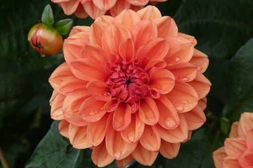 Dahlia, Orange, Bloom, Flower, Garden, Polesden Lacey