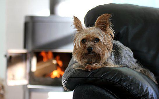 Dog, Sina, Small, Ears, Hair