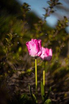 Tulip, Tenderness, Flower, Drops, Plant, Macro, Nature